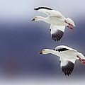 Snow Goose Flight by Bill Tiepelman