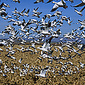 Snow Goose Flock Taking Off by Konrad Wothe