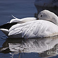 Snow Goose by John Greco