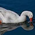Snow Goose Reflected