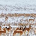 Snow Grazers by Darren  White
