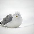 Snow Gull by Karol Livote