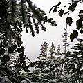Snow In Trees At Narada Falls II by Greg Reed