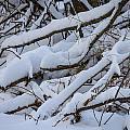 Snow Laden by Jane Luxton