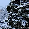Snow Laden Limbs - Tree - Snow - Snow Storm by Barbara Griffin