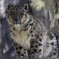 Snow Leopard 1 by Everet Regal