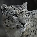 Snow Leopard 15 by Ernie Echols