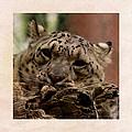 Snow Leopard 17 by Ernie Echols