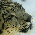 Snow Leopard 2 by Ernie Echols