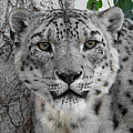 Snow Leopard 5 by Ernie Echols