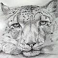 Snow Leopard by Alan Pickersgill