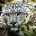 Snow Leopard by Chris Boulton
