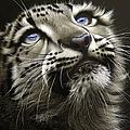 Snow Leopard Cub by Jurek Zamoyski