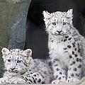 Snow Leopard Cubs by Chris Boulton