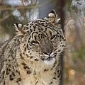 Snow Leopard by Ernie Echols
