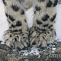 Snow Leopard Feet by Thomas and Pat Leeson