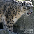 Snow Leopard by Neal Eslinger