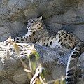 Snow Leopard    No.2 by Neal Eslinger