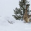 Snow Leopard Periscope by Danny  Nestor