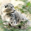 Snow Leopard Pose by Karol Livote