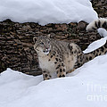 Snow Leopard by Sandra Bronstein
