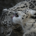 Snow Leopards by Ernie Echols