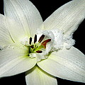 Snow Lilly by Kathy Barney