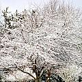 Snow Maple by Ann Butler