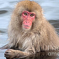Snow Monkey In The Onsen by Natural Focal Point Photography