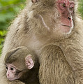 Snow Monkeys, Mother With Her Baby by John Shaw
