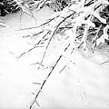 Snow On Branch by Lonnie Paulson