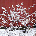 Snow On Burdock Burr Weed Against Red Barn Siding by Conni Schaftenaar