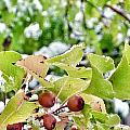 Snow On Green Leaves With Red Berries by Susan Garren
