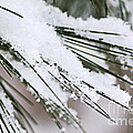 Snow On Pine Needles by Elena Elisseeva