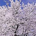Snow On Tree by Manmeet Singh