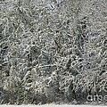 Snow On Trees by John Shaw