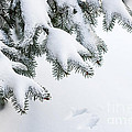 Snow On Winter Branches by Elena Elisseeva