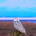 Snow Owl At Sunset by Rob Mclean