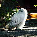 Snow Owl  by Bill Cannon