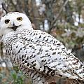 Snow Owl  by Laurie Chrisco