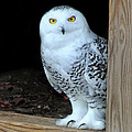 Snow Owl by Sharon Horn