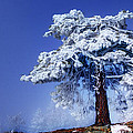 Snow Pine by Kabir Ghafari
