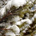 Snow Pine by Nic  Vasquez