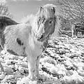 Snow Ponies by Christine Smart