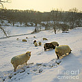 Snow Sheep  by Paul Felix
