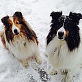 Snow Shelties by Hayley Holzhacker