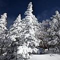 Snow Spruce Sunshine by Jim Buchanan