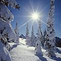 1m4882-snow Laden Tree Sunburst by Ed  Cooper Photography