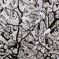 Snow Tree by Carol Lynch