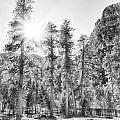 Snow Trees by Howard Salmon